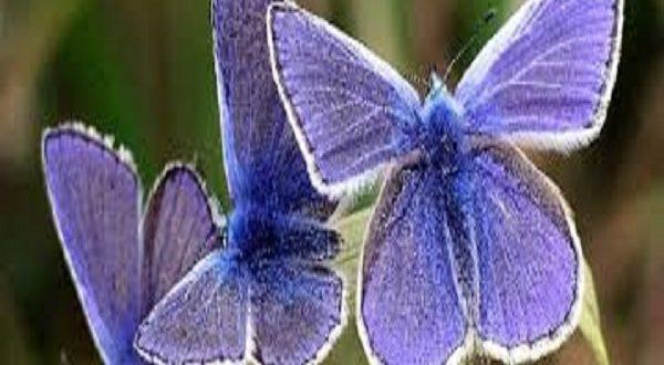 Perché le farfalle stanno scomparendo da tutte le città